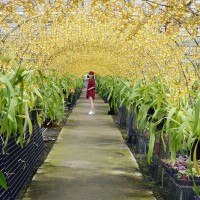 Flower farm in Taiwan's Yilan becomes tourist hotspot for its 'Golden Flower Tunnel'