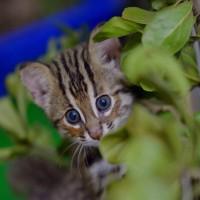 石虎存續引關注 林務局推石虎棲地保育