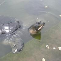 野外滅絕物種可望露曙光 印度廟宇保育黑鱉