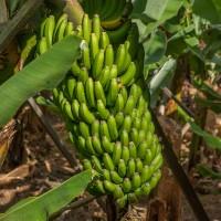 全球最受歡迎香蕉品種恐滅絕 救蕉之道引論戰