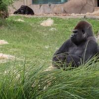 法國動物園首例 圈養大猩猩將野放中非棲息地