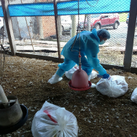 Another Taiwan poultry farm infected with avian flu, 28,000 chickens culled