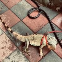 屏東發起抓綠鬣蜥全民運動  一隻可換一盒老鷹紅豆