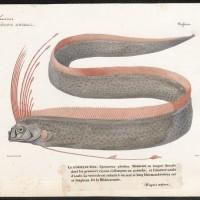深海魚是大地震前兆? 日研究:只是迷信