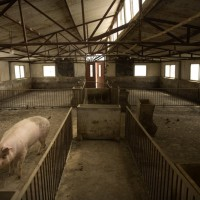 China covers up extent of swine fever crisis, neighboring countries concerned