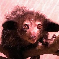 Taipei Zoo welcomes rare aye-aye