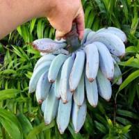 爪哇藍蕉 味道與長相齊驅被譽為「蕉界哈根達斯」