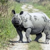 印度獨角犀牛持續受威脅 保育工作未停歇