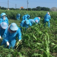 Taiwan's fall armyworm infestation set to spread