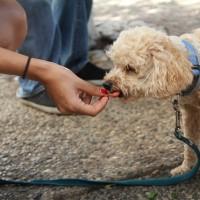 比巧克力致命!美FDA:狗兒一旦誤食這個 恐一小時內猝死