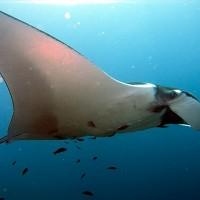 巨大鬼蝠魟向澳洲潛水員求救?