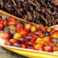 棕櫚油將從生質燃料除名 馬來西亞擬向WTO提出抗議