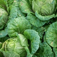 Taiwan guarantees cabbage price