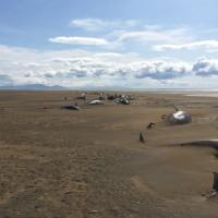 冰島52隻短肢領航鯨集體擱淺 原因成謎