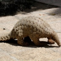 Chinese pangolin smuggling gang handed lengthy prison terms