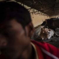 牛死要火葬不能埋   印度人民黨要員惹議