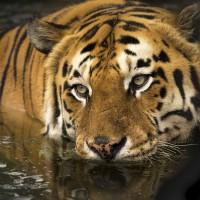 保育有成  印度孟加拉虎數量首度增加至3000隻