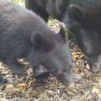 Taiwan locates Formosan black bear mother-and-child duo
