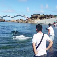 Video shows Taiwanese desperately plead with pilot whale not to beach itself