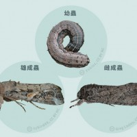 颱風釀蟲蟲危機 防檢局:秋行軍蟲恐乘風而至