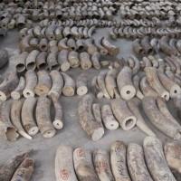 瀕危野生動植物貿易公約會議今召開 非洲象獲關注