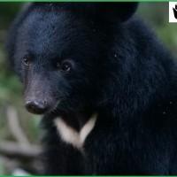 【更新】南安小熊衛星追蹤項圈脫落 林務局「樂觀看待小熊回山林!」