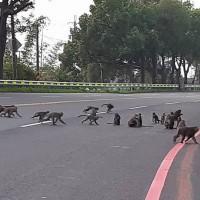 猴群闖進校園覓食 雲林校長放沖天炮驅猴