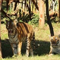 人類需求有增無減 平均每周有2隻孟加拉虎死於非命