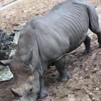 遊客脫序行為現法國動物園     犀牛背遭刻字