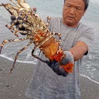 台灣台東漁民捕獲罕見超大龍蝦 委由生態專家放生