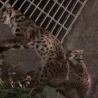 More Taiwan leopard cats killed on Miaoli County roads