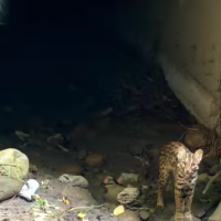 Taiwan's leopard cat lives saved by road culverts