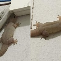 Photo of the Day: Preggo gecko spotted in Taiwan