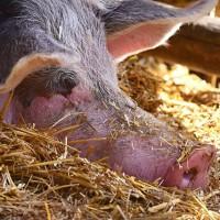 南韓爆非洲豬瘟 今日下午起自南韓攜豬肉品入境將開罰