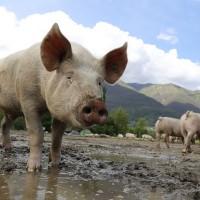 南韓再爆非洲豬瘟疫情 病毒源頭成謎