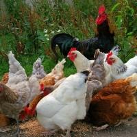 國內第2例!H5N5高病原性禽流感屏東現蹤 清除時程再延後