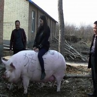 China breeds giant pigs as heavy as polar bears