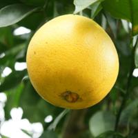 快盛產了 農委會台東區農業改良場教你怎麼選臍橙
