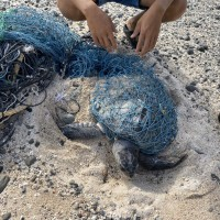 稀有保育動物「欖蠵龜」遭漁網纏繞 台灣綠島海巡即刻救援