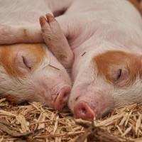 共同守護非洲豬瘟防線   台、越簽訂合作備忘錄