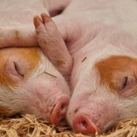 非洲豬瘟疫情擴大 日本機場相繼驗出病毒