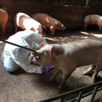 African swine fever threatens every country: OIE