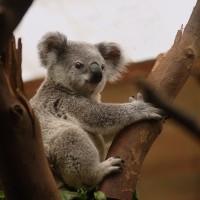 澳洲野火侵襲棲地   數百頭無尾熊慘遭火舌吞噬