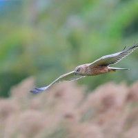 Rare western marsh harrier sighted in S. Taiwan