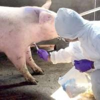 台灣金門海漂豬又檢出非洲豬瘟    縣內豬場檢測無異常