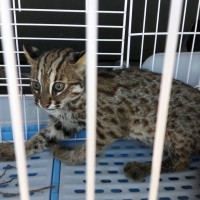 Young leopard cat dies after traffic accident in NW Taiwan