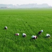 Taiwan creates breakthrough with climate change-resistant rice