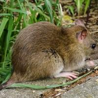 中國再爆一例鼠疫 台灣疾管署:不排除及時發布旅遊疫情警示