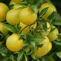 柚子皮研發醬油、白蘭地 台灣大葉大學農業減廢再利用拓商機