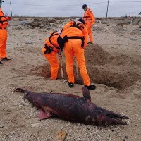Dolphin corpses found on Taiwan's Penghu